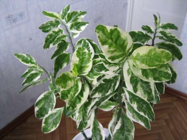 Цветы с зелено-белыми листьями